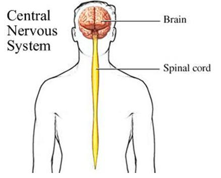 Notes on peripheral nervous system
